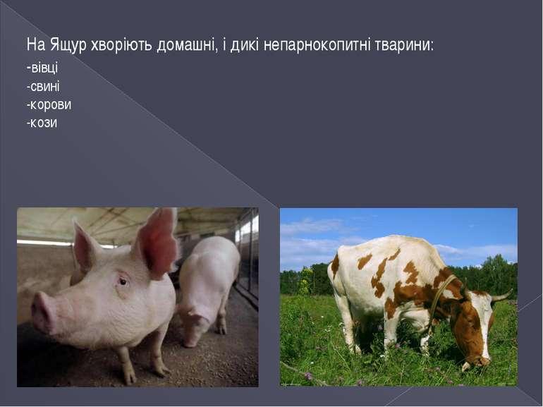 На Ящур хворіють домашні, і дикі непарнокопитні тварини: -вівці -свині -коров...