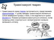 Травні вакуолі тварин Травні вакуолі середтваринзустрічаються у представник...