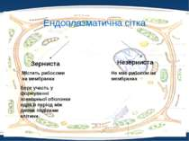 Ендоплазматична сітка Зерниста Незерниста Містить рибосоми на мембранах Не ма...