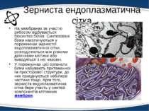 Зерниста ендоплазматична сітка На мембранах за участю рибосом відбувається бі...