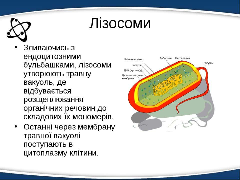 Лізосоми Зливаючись з ендоцитозними бульбашками, лізосоми утворюють травну ва...