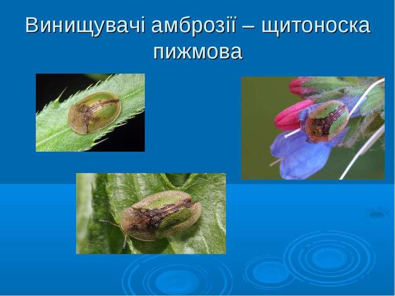 Винищувачі амброзії – щитоноска пижмова Щитоноска пижмова (Сassida vibex)