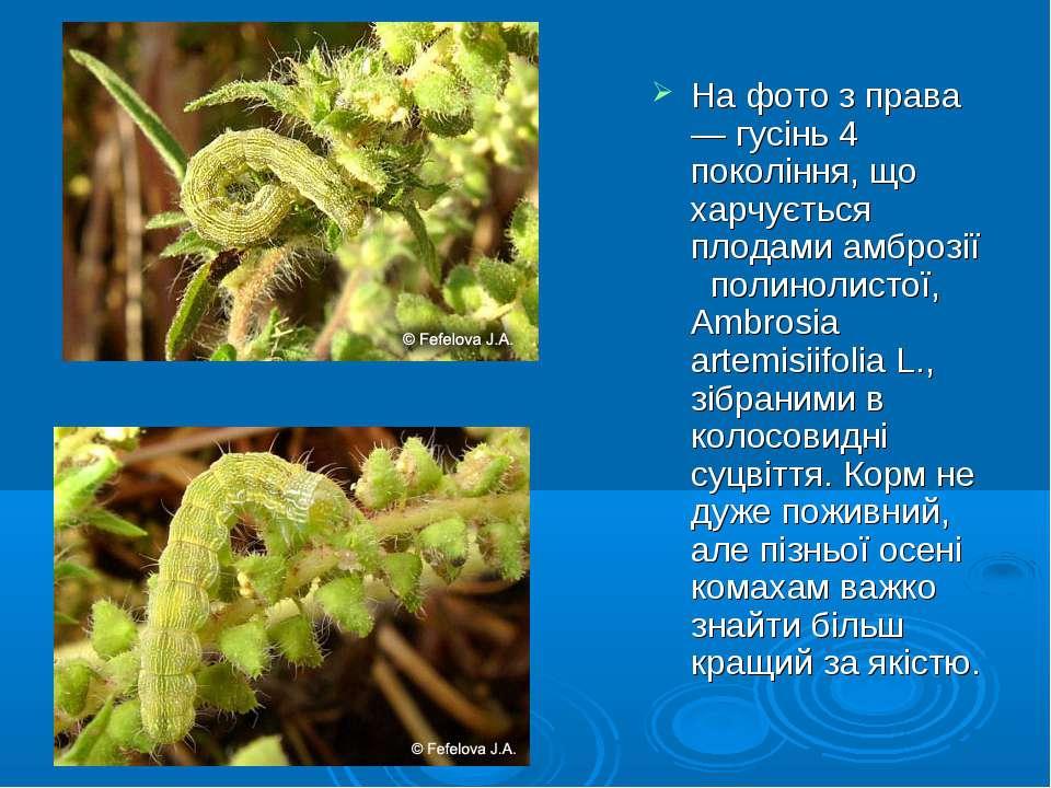 На фото з права— гусінь 4 покоління, що харчується плодами амброзії полинолис...