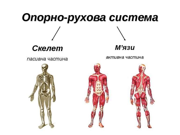 Опорно-рухова система Скелет пасивна частина М'язи активна частина
