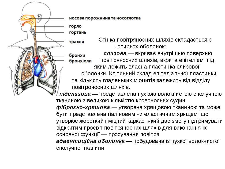 Стінка повітряносних шляхів складається з чотирьох оболонок: слизова— вкрива...