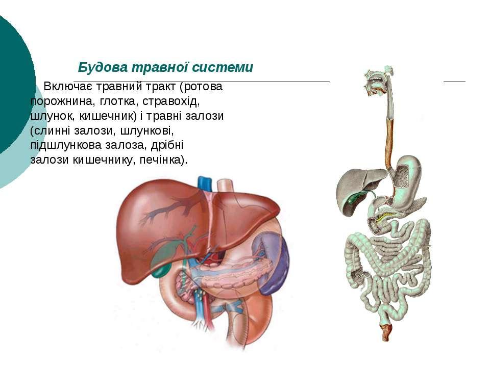 Будова травної системи Включає травний тракт (ротова порожнина, глотка, страв...