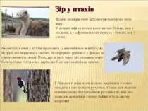 Великі розміри очей забезпечують широке поле зору. У деяких хижих птахів вони...