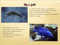 Очі риб мають кулястий кришталик і плоску рогівку, тому вони можуть бачити ли...