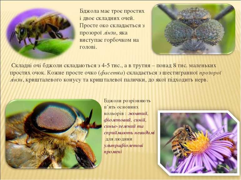Складні очі бджоли складаються з 4-5 тис., а в трутня – понад 8 тис. маленьки...