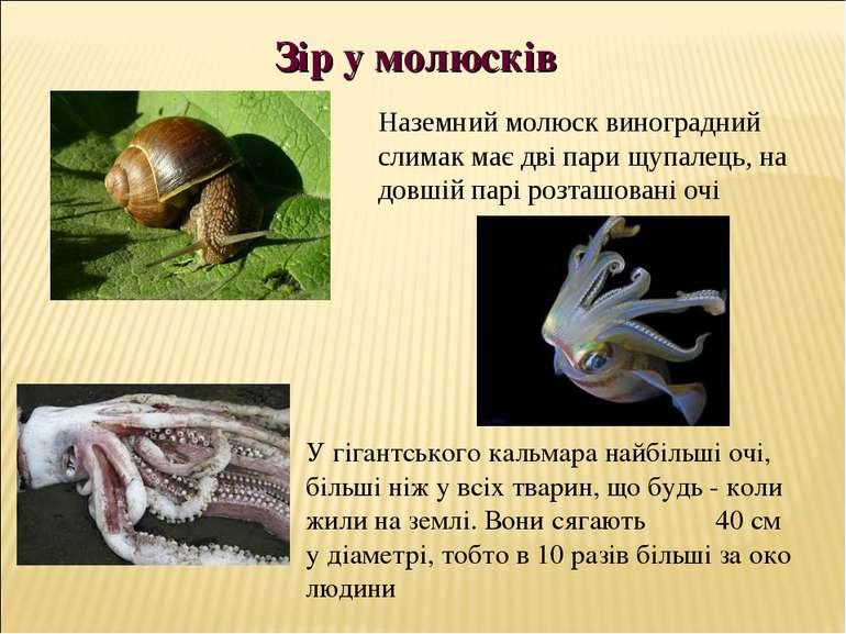 У гігантського кальмара найбільші очі, більші ніж у всіх тварин, що будь - ко...
