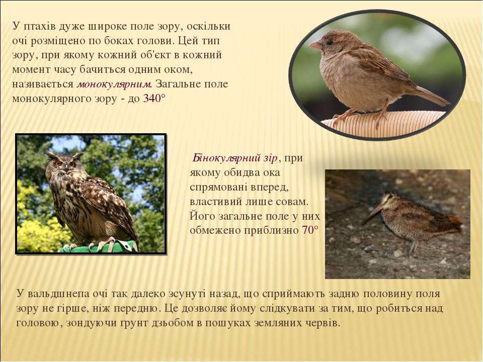 Бінокулярний зір, при якому обидва ока спрямовані вперед, властивий лише сова...