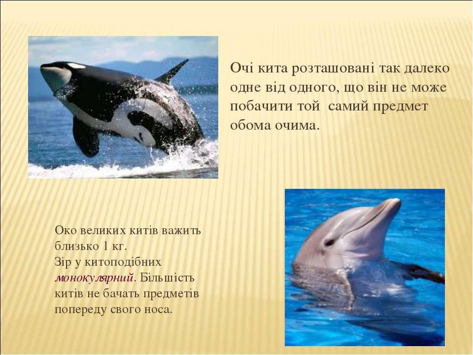Очі кита розташовані так далеко одне від одного, що він не може побачити той ...