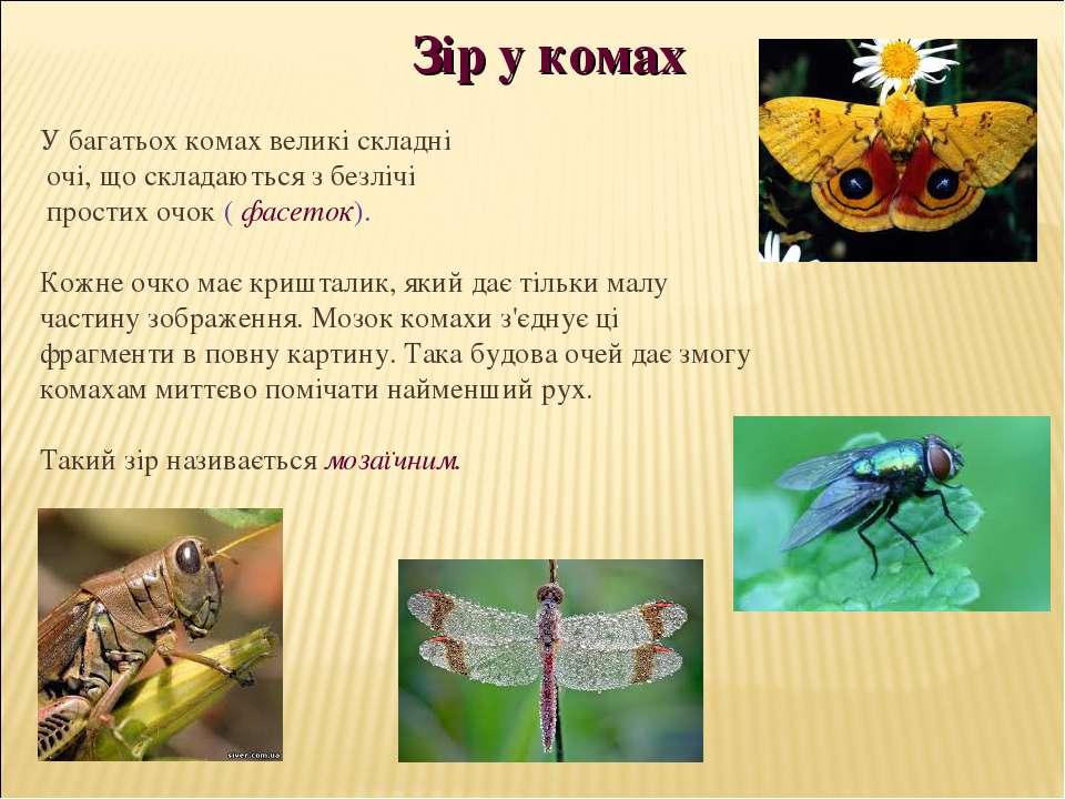 Зір у комах У багатьох комах великі складні очі, що складаються з безлічі про...