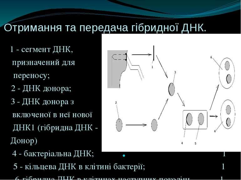Отримання та передача гібридної ДНК. 1 - сегмент ДНК, 1 призначений для 46575...