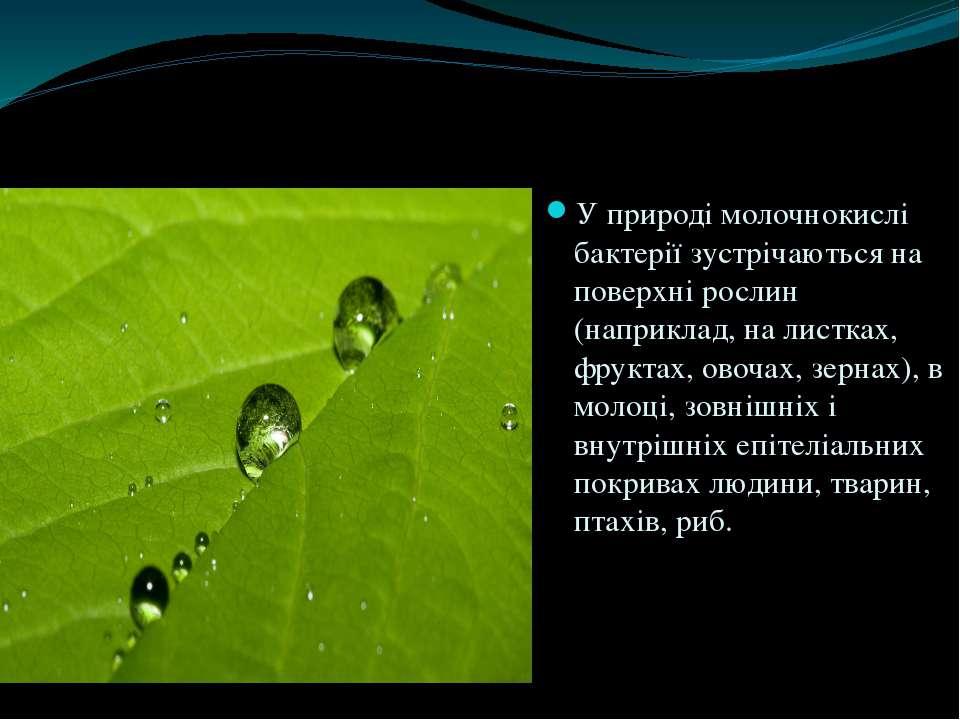 У природі молочнокислі бактерії зустрічаються на поверхні рослин (наприклад, ...