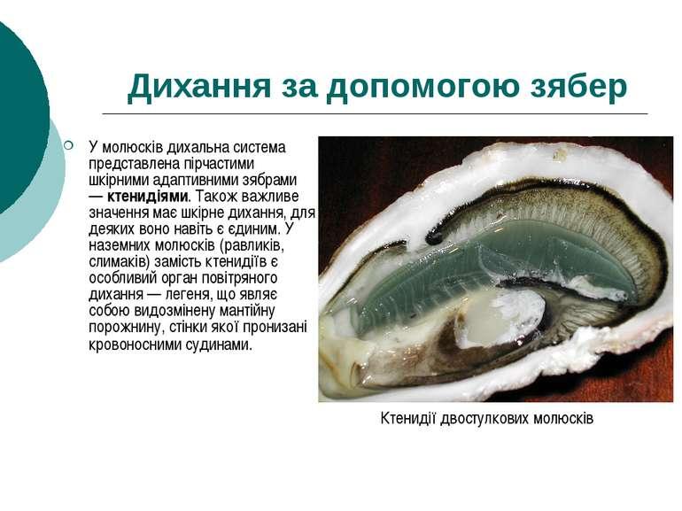 Дихання за допомогою зябер У молюсків дихальна система представлена пірчастим...