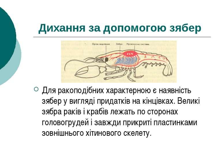 Дихання за допомогою зябер Для ракоподібних характерною є наявність зябер у в...