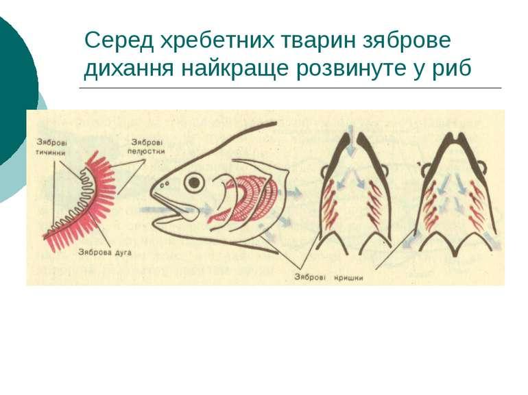 Серед хребетних тварин зяброве дихання найкраще розвинуте у риб