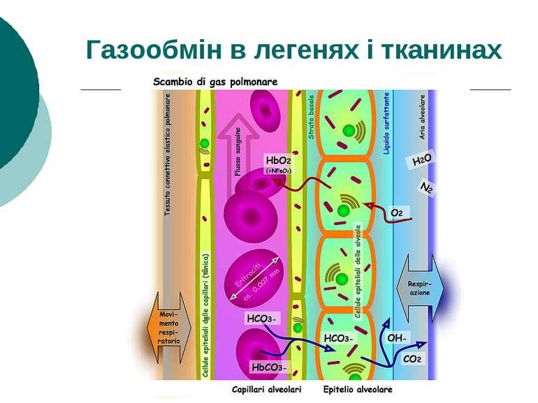 Газообмін в легенях і тканинах