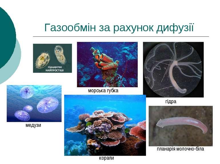 Газообмін за рахунок дифузії морська губка гідра медузи корали планарія молоч...