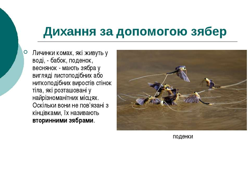 Дихання за допомогою зябер Личинки комах, які живуть у воді, - бабок, поденок...