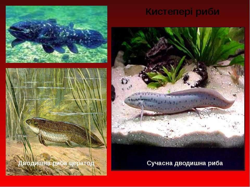 Дводишна риба цератод Сучасна дводишна риба Кистепері риби