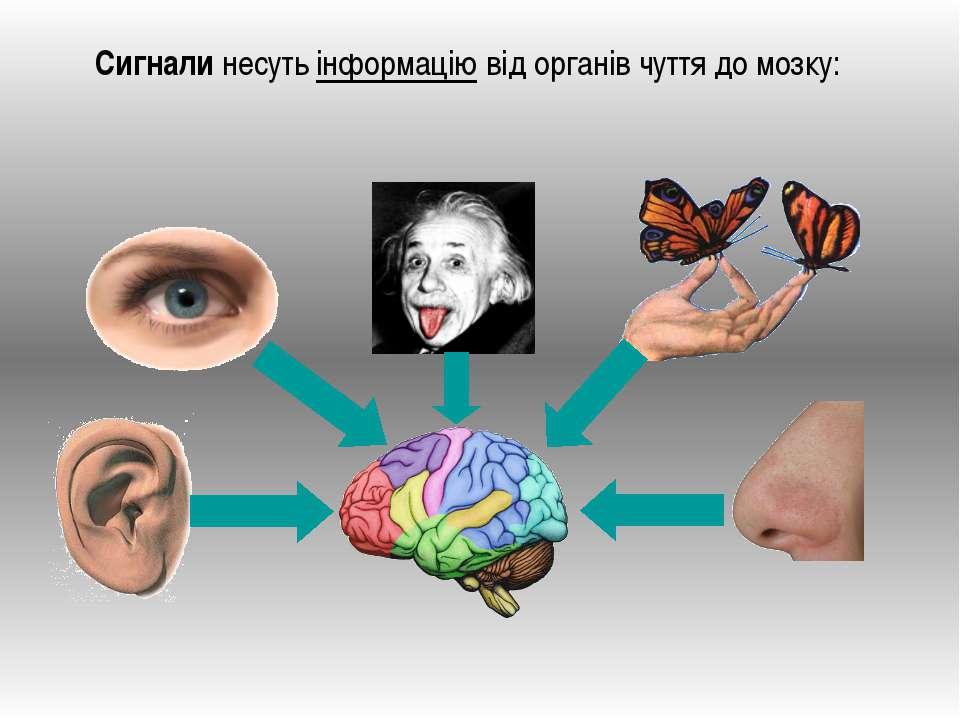 Сигнали несуть інформацію від органів чуття до мозку:
