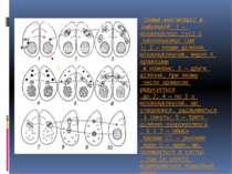 Схема кон'югації в інфузорій: 1 — мікронуклеус (мі) і макронуклеус (ма); 2 — ...
