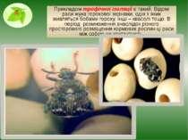 Прикладом трофічної ізоляції є такий. Відомі раси жука горохової зернівки, од...