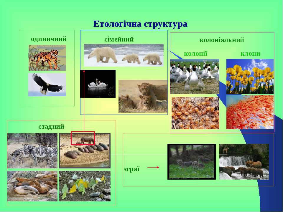 Етологічна структура одиничний сімейний колоніальний стадний зграї колонії клони