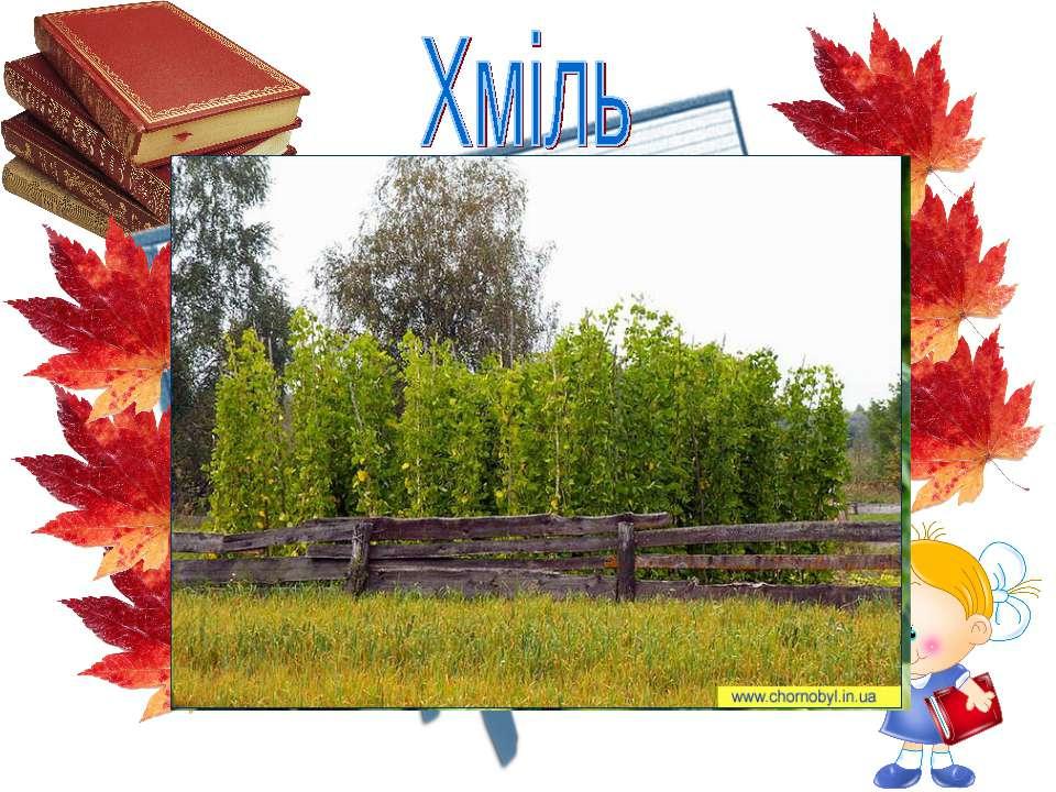 рід багаторічних трав'янистих рослин, родини коноплевих, найвища трав'яниста ...