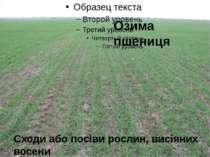 Озима пшениця Сходи або посіви рослин, висіяних восени