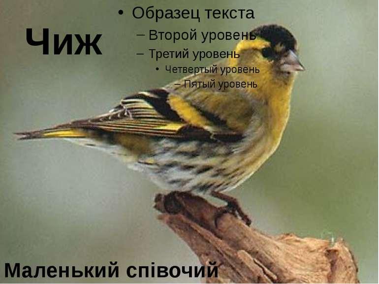 Чиж Маленький співочий птах
