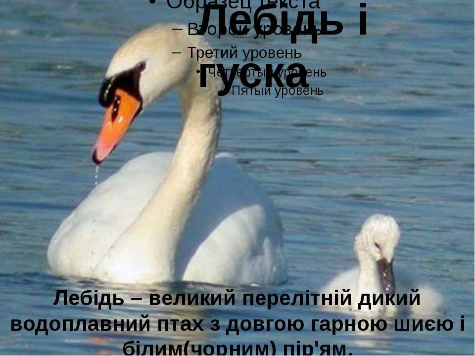 Лебідь і гуска Лебідь – великий перелітній дикий водоплавний птах з довгою га...