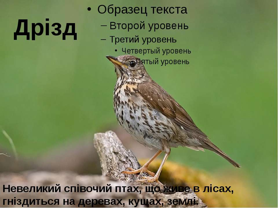 Дрізд Невеликий співочий птах, що живе в лісах, гніздиться на деревах, кущах,...