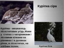 Куріпка сіра Куріпка біла Куріпка - мешканець лісостепових угідь.Живе у степа...