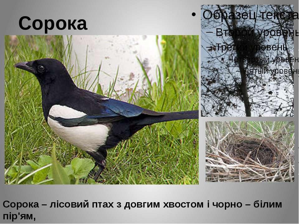Сорока Сорока – лісовий птах з довгим хвостом і чорно – білим пір'ям, що вида...