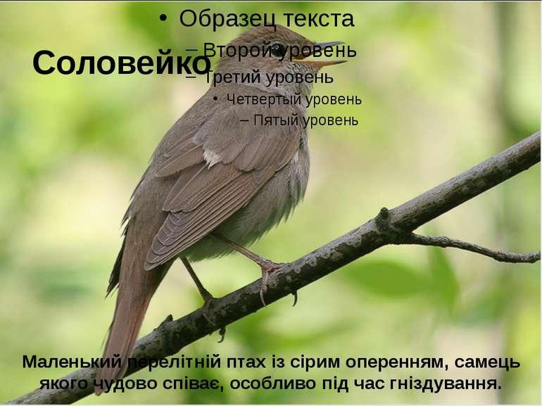 Соловейко Маленький перелітній птах із сірим оперенням, самець якого чудово с...