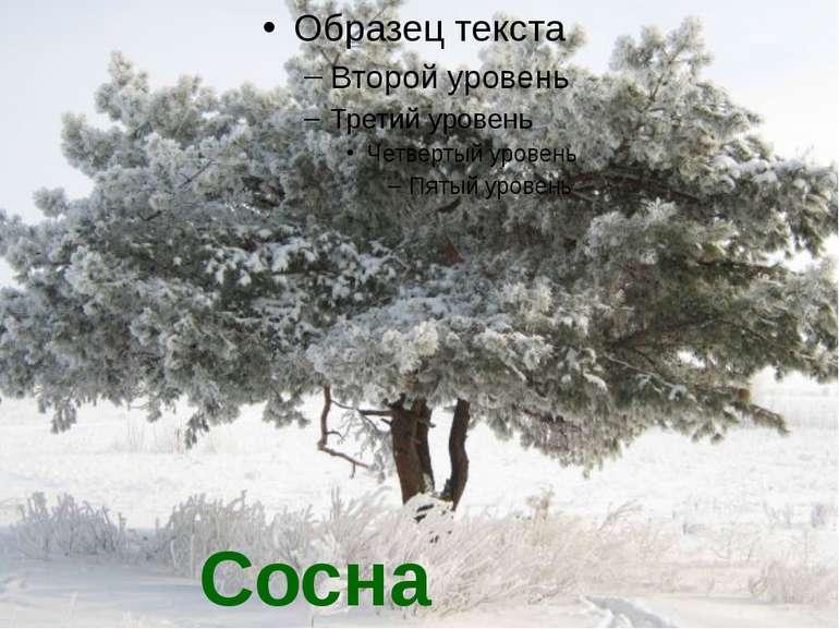 Сосна взимку