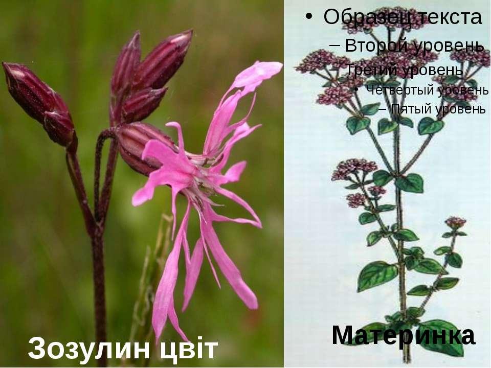 Зозулин цвіт Материнка