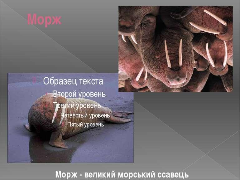 Морж Морж - великий морський ссавець