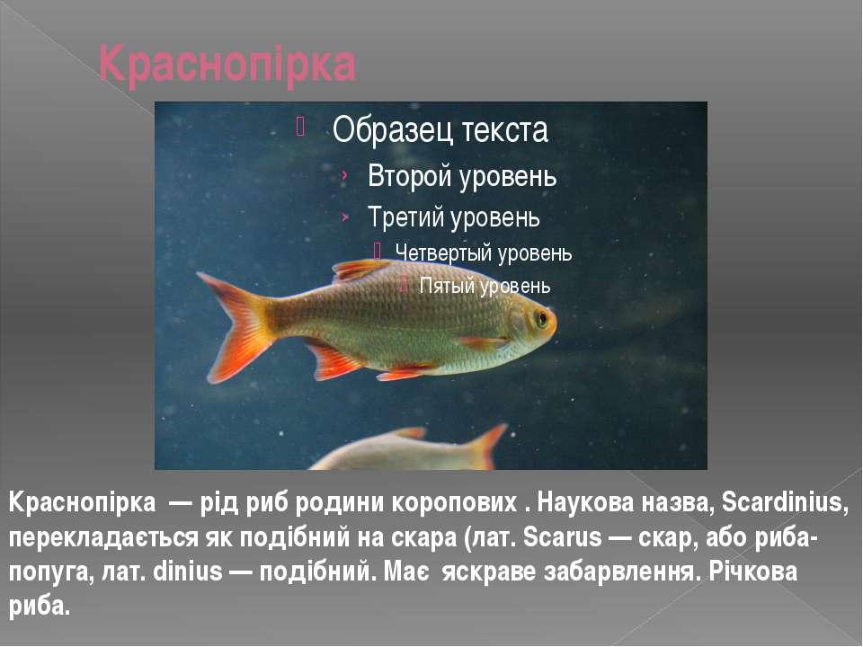 Краснопірка Краснопірка — рід риб родини коропових . Наукова назва, Scardiniu...