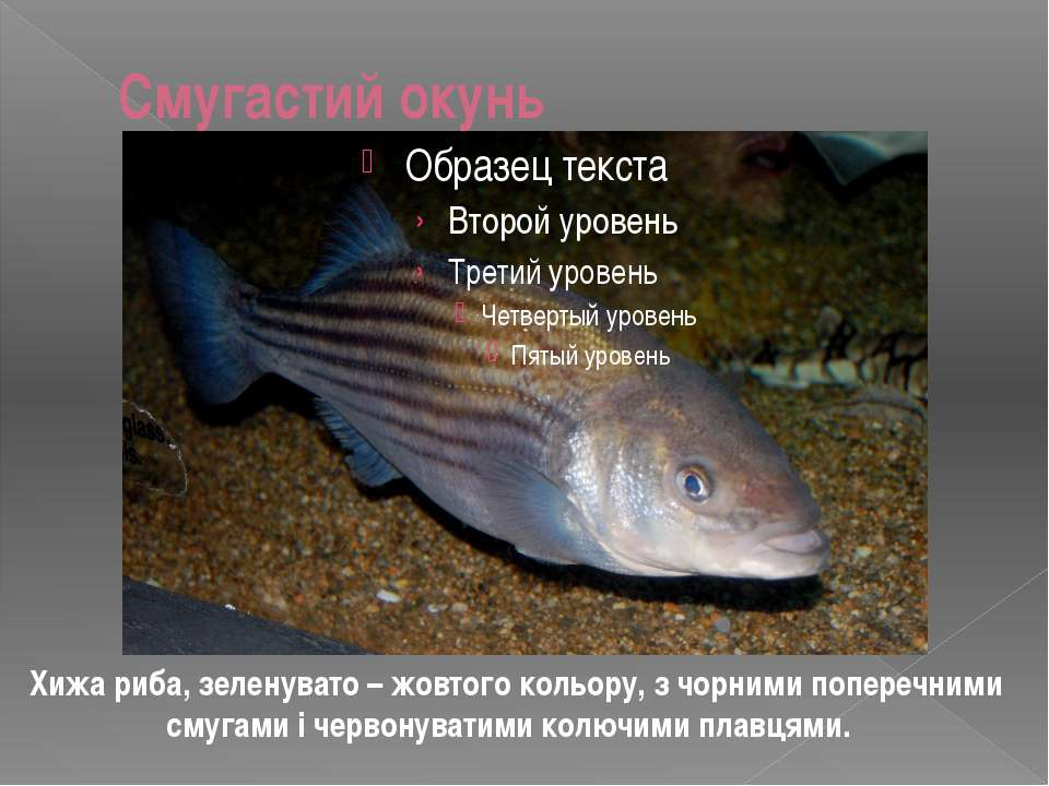 Смугастий окунь Хижа риба, зеленувато – жовтого кольору, з чорними поперечним...