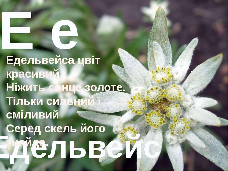 Е е Едельвейс Едельвейса цвіт красивий Ніжить сонце золоте. Тільки сильний і ...