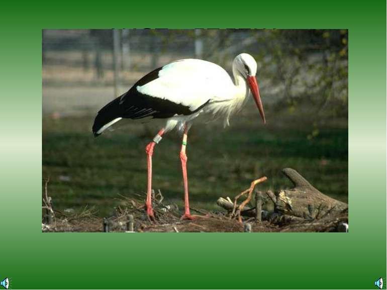 АИСТ - ЛЕЛЕКА Ciconia ciconia — Аист белый Отряд Аистообразные, или Голенасты...