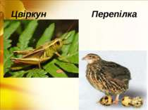 Цвіркун Перепілка