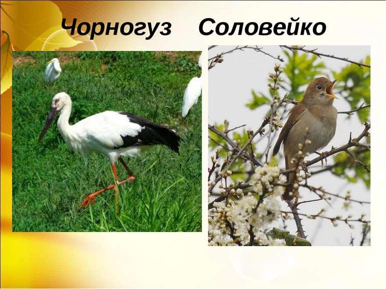 Чорногуз Соловейко
