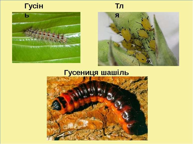 Гусениця шашіль Гусінь Тля