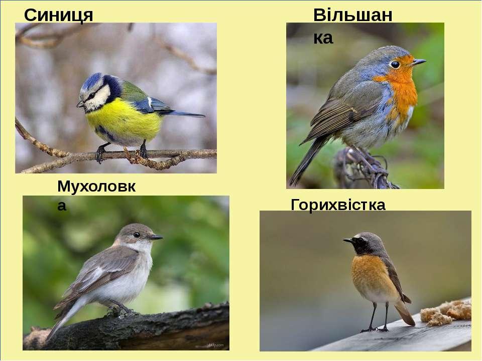 Синиця Вільшанка Мухоловка Горихвістка