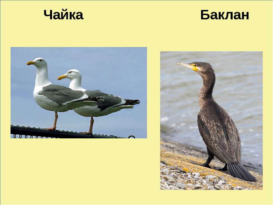 ь Чайка Баклан